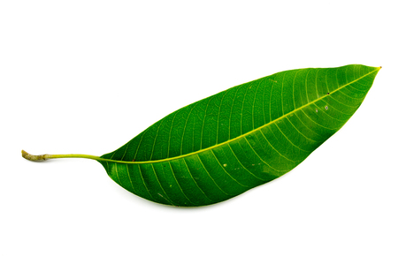 mango leaf: Green mango leaf isolated on white background. Stock Photo