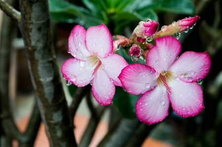Adenium pink and white flowers after the rain drop.