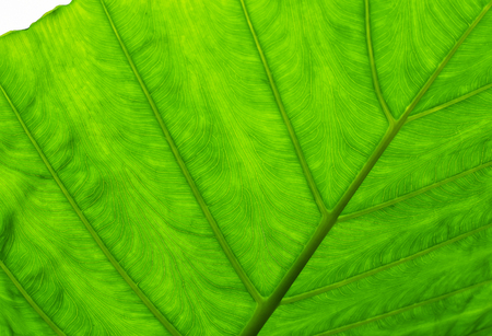 Green leaf close up from underneath. Natural pattern of veins could be seen clearly. Soft light effect added. Stock Photo