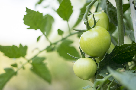 Green tomatoes on the branch in green house nursery with the vine and leaves in background. Standard-Bild - 122953435