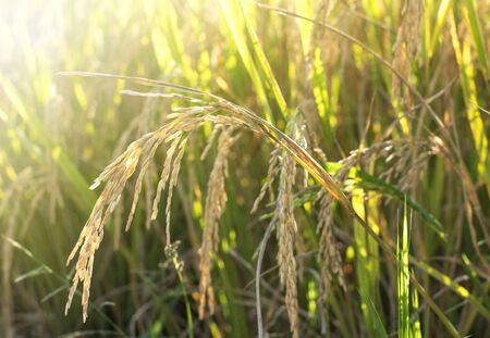 Bijna rijpe rijstoren die voor de oogsttijd bukken. Close up van rijst oren in rijstveld met late namiddag zonlicht. Stockfoto