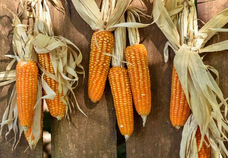 Corn cobs hanging on wooden wall of barn to dry out.
