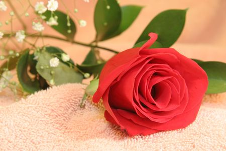 Red Rose with Babys Breath on Pink Background.