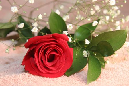 Red Rose with Babys Breath on Pink Background. photo