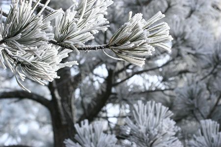 ponderosa pine winter: Frost Crystals on Tree Branch