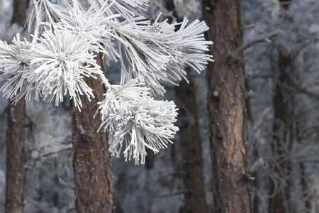 ponderosa pine winter: Ice Crystals on Tree Branch Stock Photo