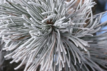 ponderosa pine winter: Frost Crystals on Pine Needles Stock Photo