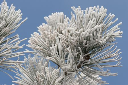 ponderosa: Frost on Pine Tree with Blue Sky