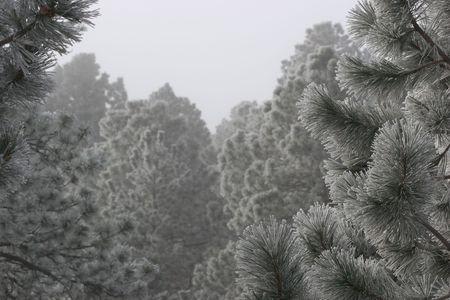 ponderosa pine winter: Frost on Pine Trees