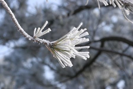ponderosa pine winter: Frost on Pine Tree Branch Stock Photo