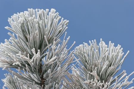ponderosa pine winter: Frost on Pine Tree with Blue Sky