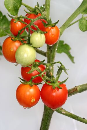 cherry tomatoes on the vine with white background photo