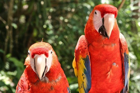Two Scarlet Macaw Parrots 스톡 콘텐츠