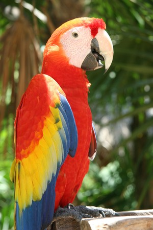 Scarlet Macaw Parrot looking at the camera photo