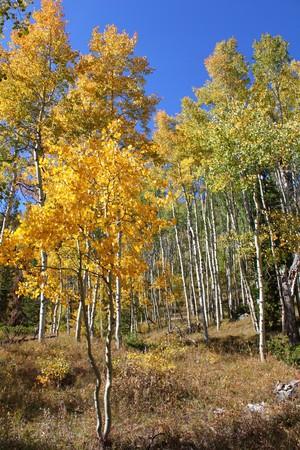 Fall Foliage with Yellow Aspen Trees photo