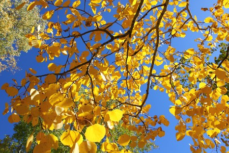 aspen leaf: Fall Foliage with Yellow Aspen Leaves Close Up