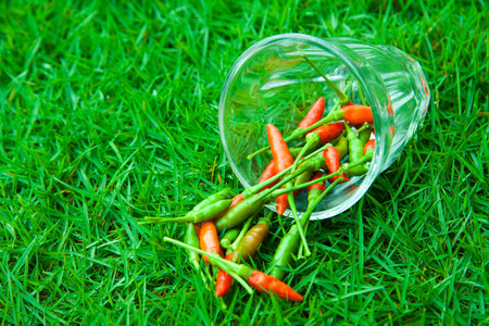 freshest: The chili peppers freshest and hottest, In the hand, On the lawn