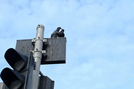 trafficlight: Two pigeons are kissing each other.