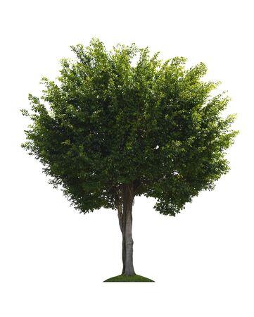 Siamese rough bush (Streblus asper Lour) tree isolated on white background with clipping path. Archivio Fotografico