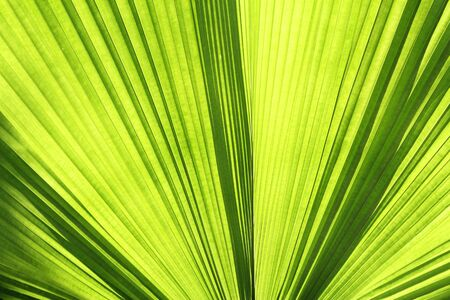 Closeup a palm leaf outdoor in the garden Stock Photo