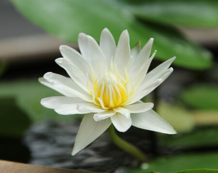 Closeup image of blooming white lotus flower in water photo