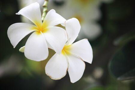closeup image of plumeria white and yellow outdoor at garden