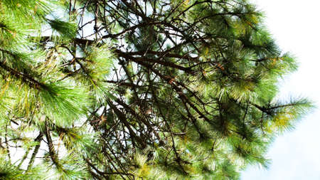 horizental: Pine tree branches and blue sky, low angle view, summer Stock Photo