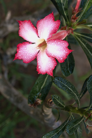 Desert Rose - a drop of water. photo