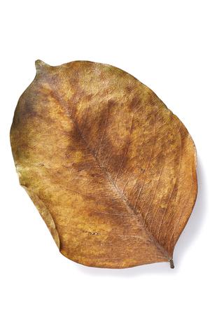 hojas antiguas: Hoja secada oto�o amarillo. Aislado en el fondo blanco. Pterocarpus Foto de archivo