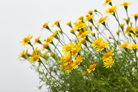 on yellow daisy: Field of yellow daisy on White Background