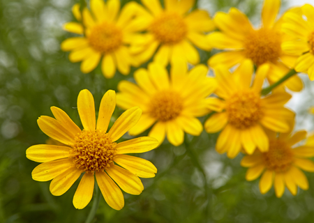 Field of yellow daisy on White Background