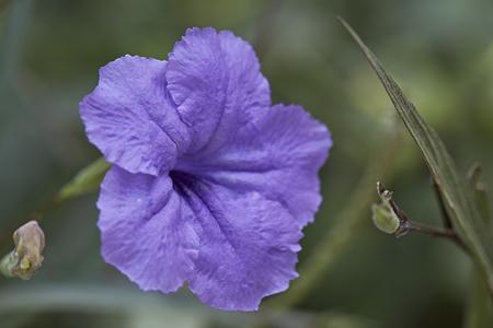 petunia wild: purple ruellias flower in garden , Ruellia tuberosa