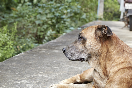 tried: this old dog look like tried because of hot weather. Stock Photo