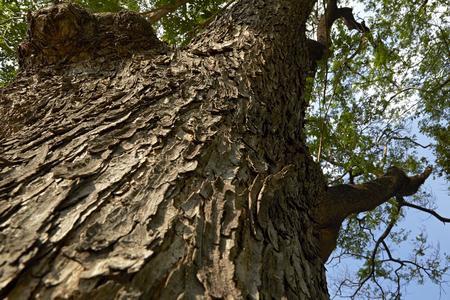 samanea saman: forest trees. nature green wood backgrounds., Samanea saman Texture Stock Photo