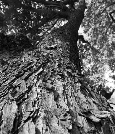 samanea saman: White and black forest trees. nature green wood backgrounds., Samanea saman Texture