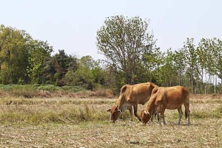 red heifer: Cow on a summer pasture Stock Photo