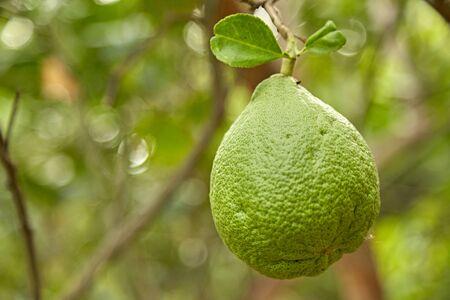 pomelo: Pomelo fruit on the pomelo tree garden