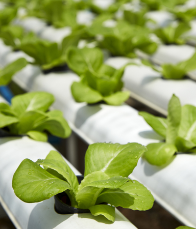 butter head: Green cos lettuce  Butter head hydroponics vegetable farm Stock Photo