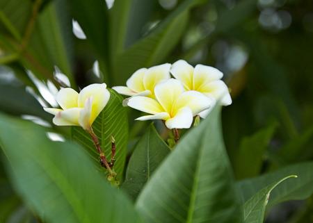 White and yellow Plumeria spp. (frangipani flowers, Frangipani, Pagoda tree or Temple tree)