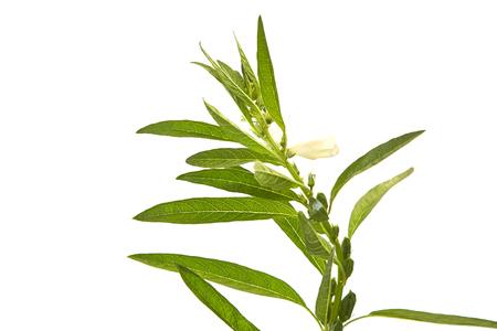 Sesame flowering on white background