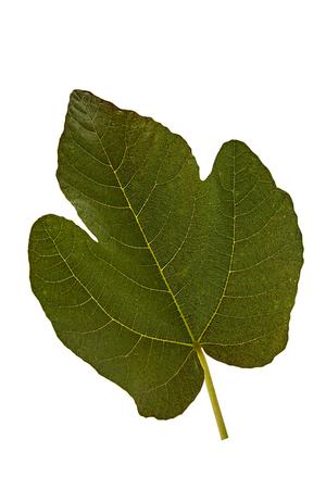 Fig leaf isolé sur un fond blanc