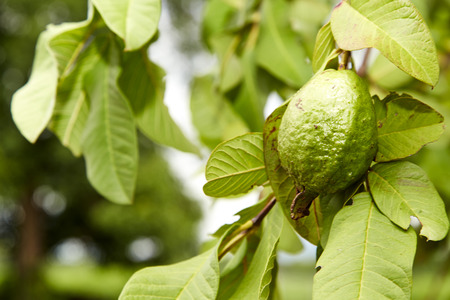 guava fruit: Green guava in fruit garden