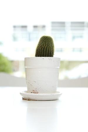 peyote: cactus on white background.