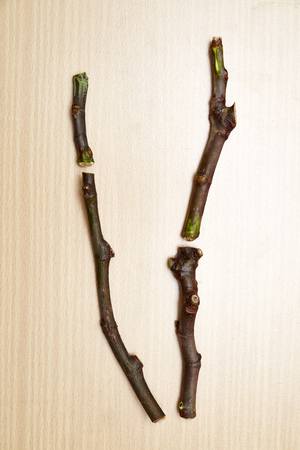 cuttings: fig tree black madeira cuttings
