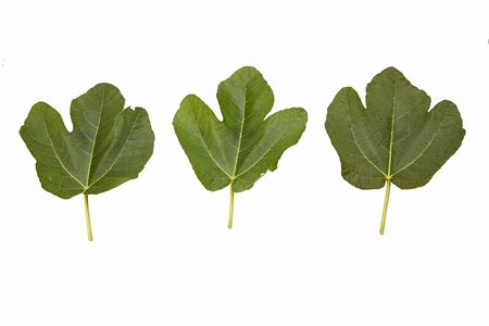 sins: three fig leaf isolated on white Stock Photo