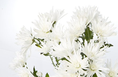 ling: beautiful white chrysanthemum  on a white