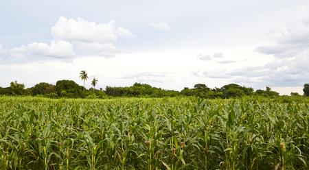 Green corn field in Thailand Reklamní fotografie