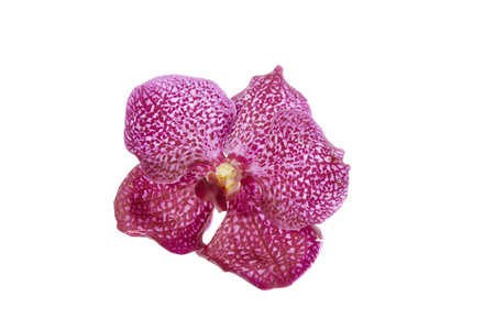 Vanda orchid flower isolated on white background
