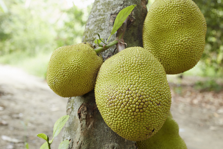 Jackfruit Tree and Jackfruit native to Asia and largely grown and appreciated in thailand