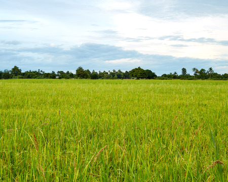 Rice field green grass blue sky cloud cloudy in Thailand,landscape